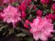 Rododendrony_podpora kvetení a kondice