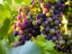 Réva - zabarvování plodů - aplikace