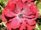 Růže_Padlí na květu