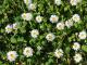 sedmikrásky v trávníku
