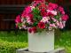 Balkonové rostliny - kopie