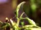 Paprika - Sviluška chmelová