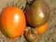 Rajčata_Plíseň bramborová