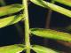 Okrasné rostliny_Svilušky (1)