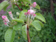Jabloň- tesně před květem - růžové poupě_konec ošetření