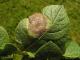 Brambory_Plíseň bramborová