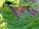 Rajče - Plíseň na listu