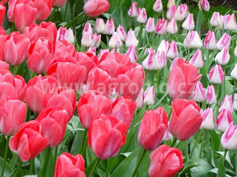 tulipány - okrasná cibulovina
