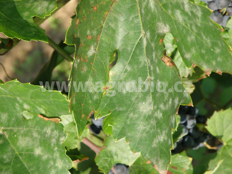 Padlí révové na listech