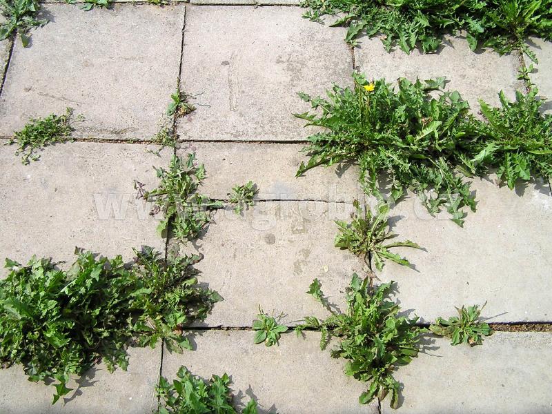 plevele v chodníku