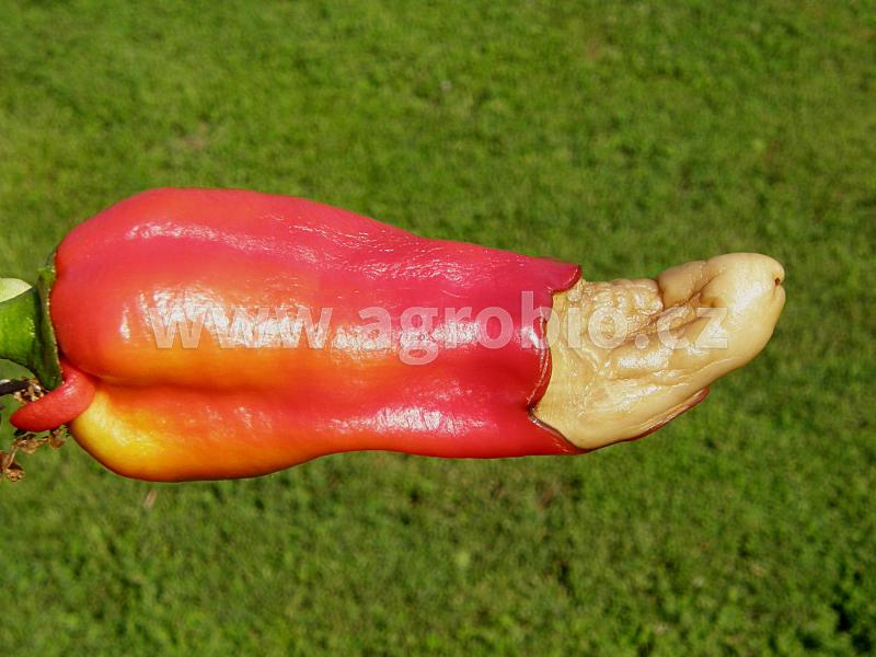 suchá hniloba konců plodů u papriky