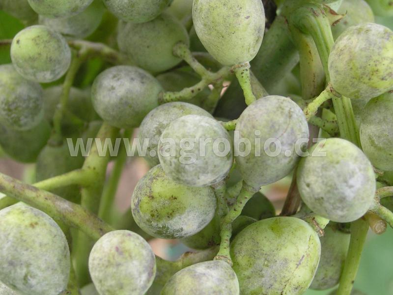 Padlí révové na plodech