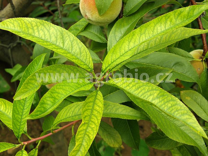 chloróza listů