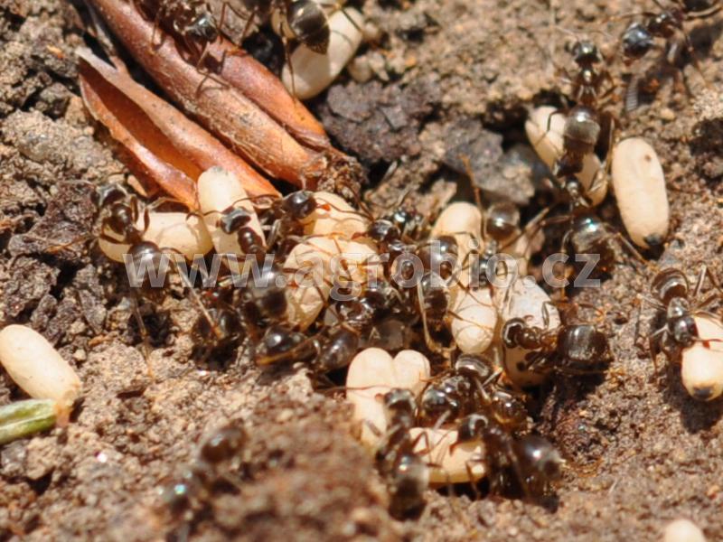 mravenčí hnízdo