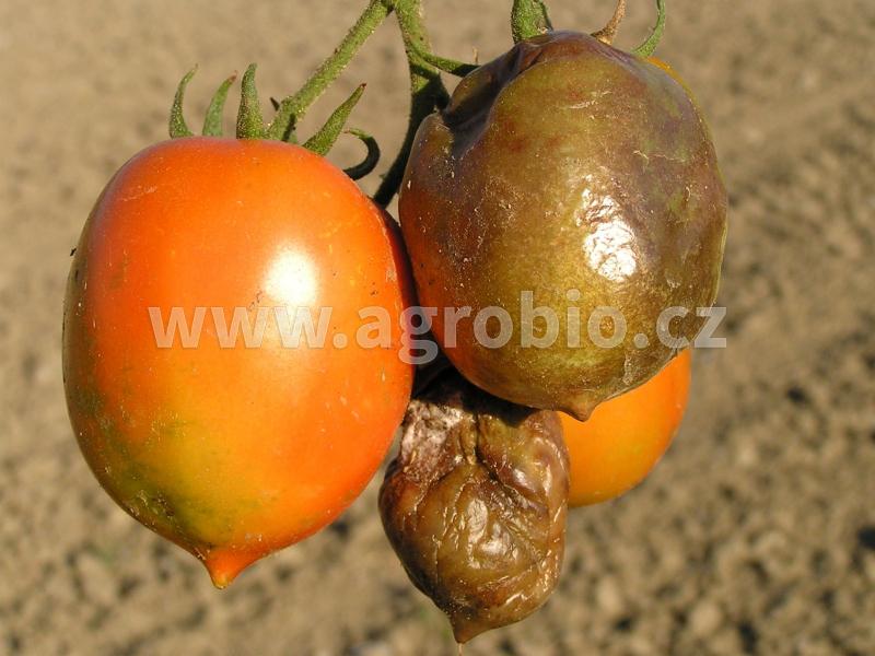 Plíseň na plodech rajčat