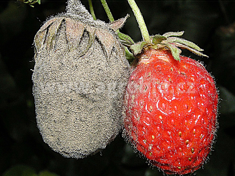 plíseň šedá jahodníku - silné napadení