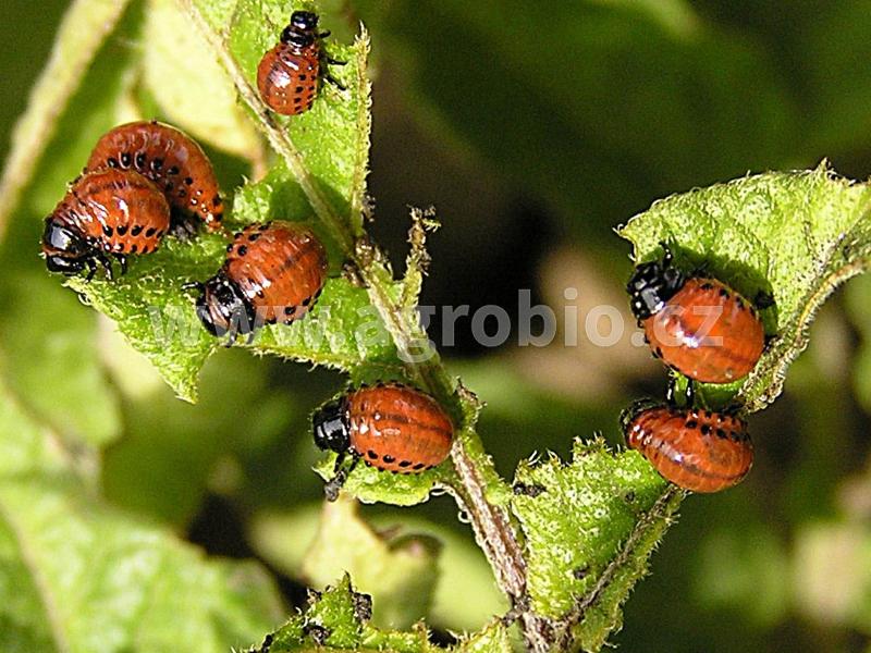Brambory_Mandelinka bramborová_žír larev