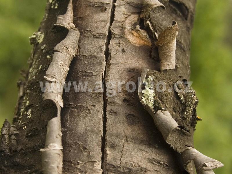 poškozený strom