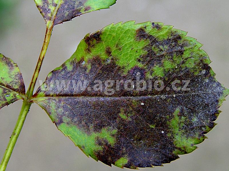 Růže_černá skvrnitost listů