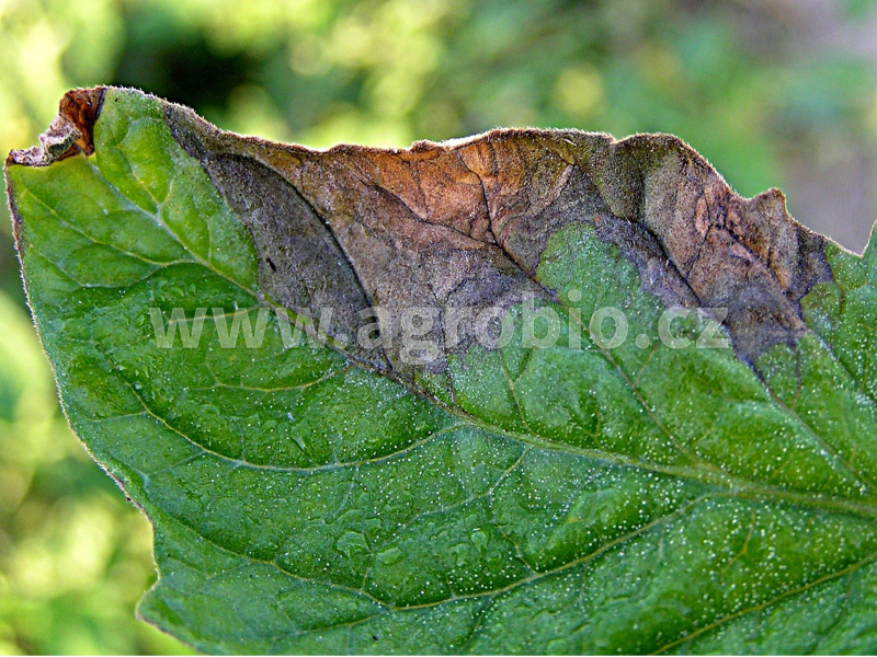 Rajčata_Plíseň bramborová_příznaky na listu