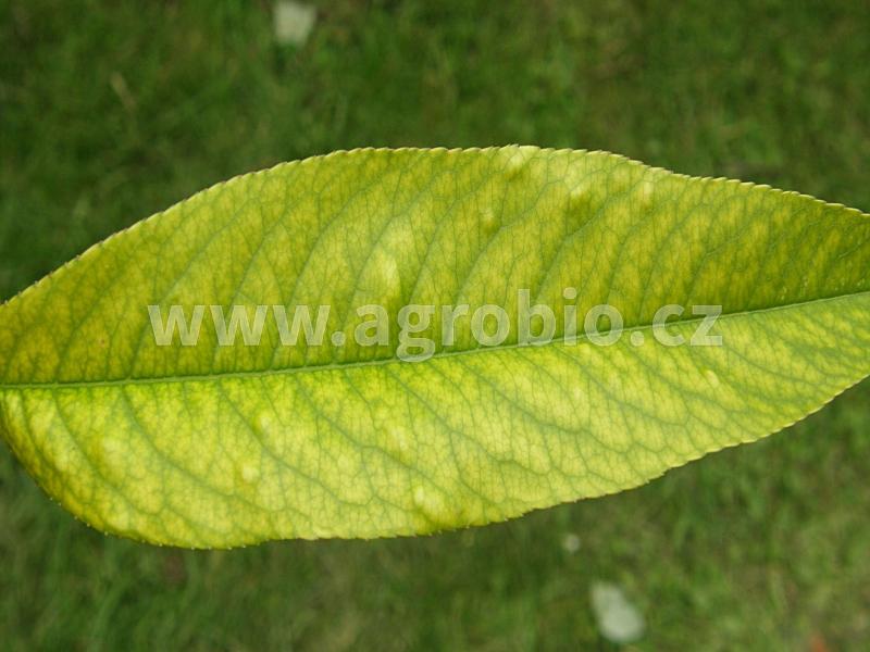 Rostliny_Chloróza_detail