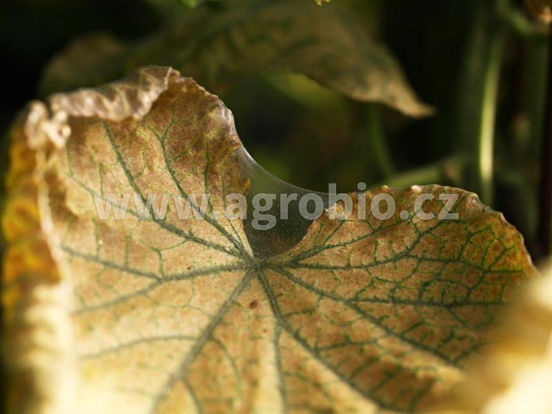 Okurka - Sviluška chmelová