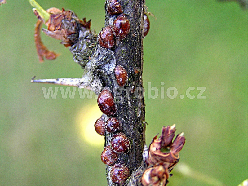 Přezimující škůdci na ovocných dřevinách_puklice