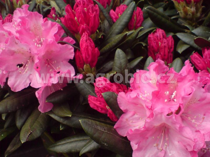 Rododendrony_podpora kvetení - kopie