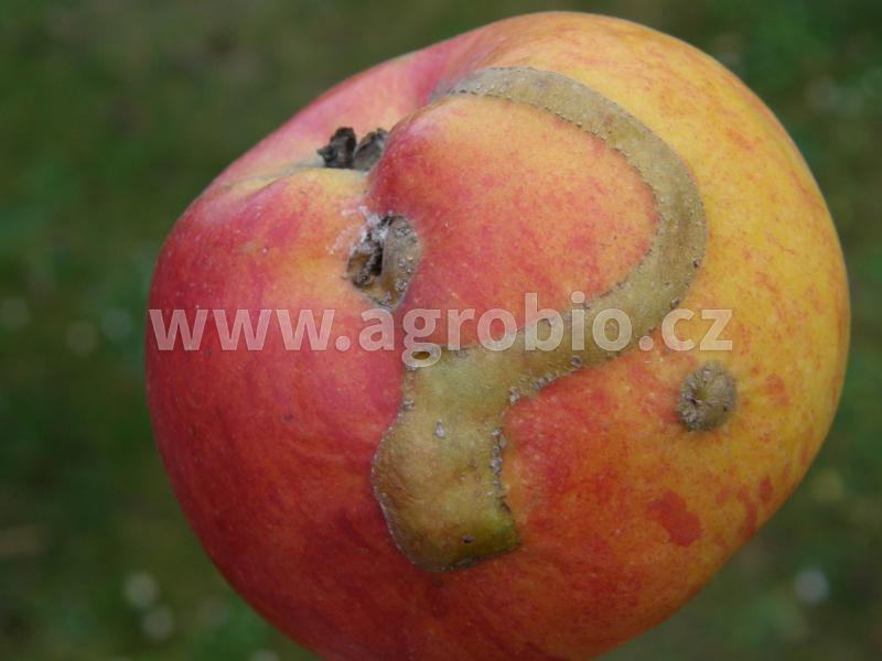 Jabloně_Pilatka jablečná