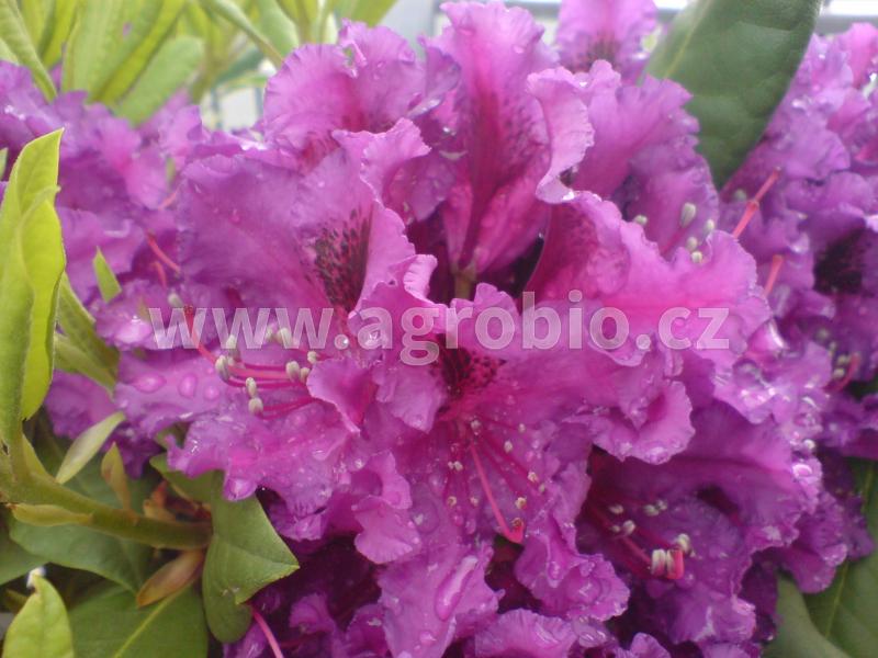 Rododendrony_podpora kvetení