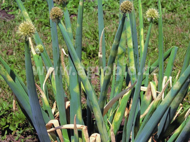 Cibule_Plíseň cibulová_rostlina