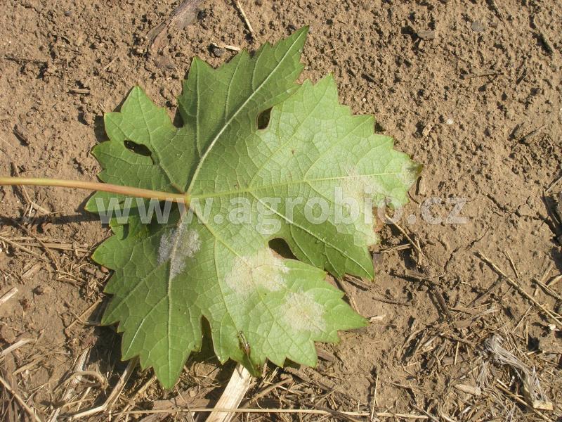 Réva vinná_Plíseň révy_Bělavé povlaky houby na listech (1)