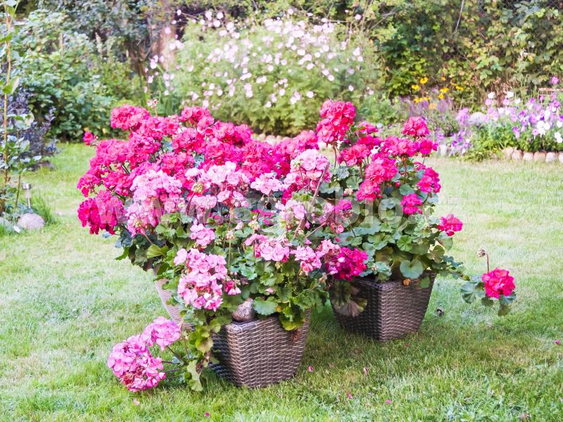 Balkónové rostliny_podpora kvetení a kondice