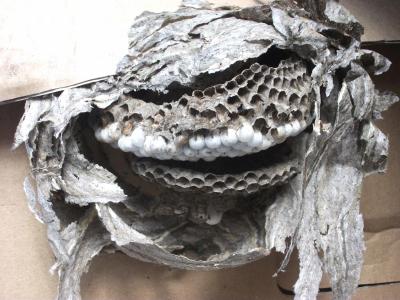 Likvidace vosích nebo sršních hnízd