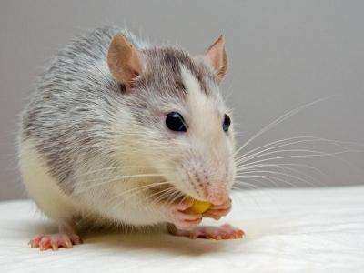 Hubení myší - pomocí voskových bloků